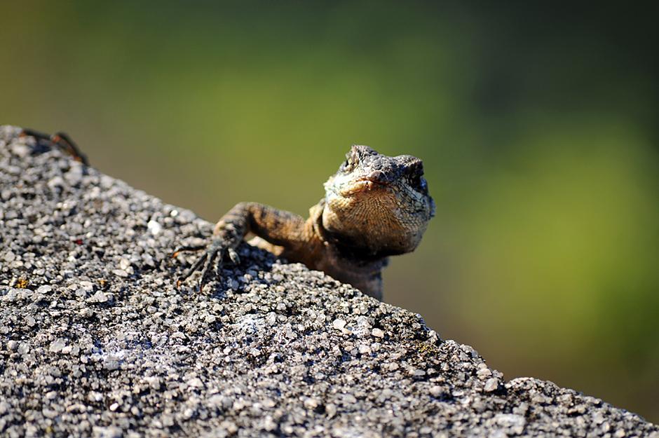 Eidechse // lizard // legarto