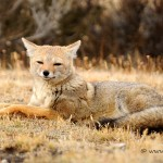 05_Fox