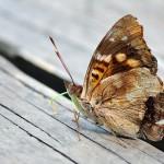 Butterfly - Schmetterling - mariposa