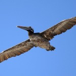 16_Brown pelican