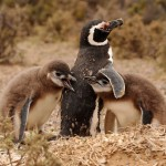 Penguin family in Punta Tombo