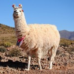 La Llama que llama