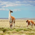 Guanacos in Patagonia