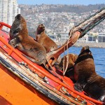 Valparaiso - sea lions