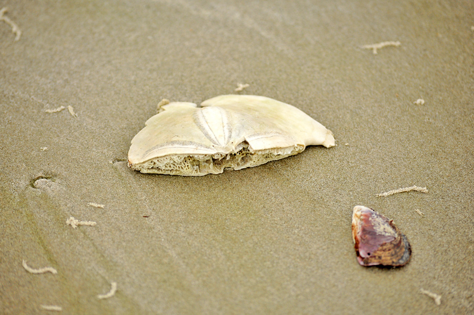 Rare sea shell called sanddollar