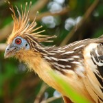 Beautiful bird - Rurrenabaque, Bolivia