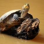Turtle - Rurrenabaque, Bolivia