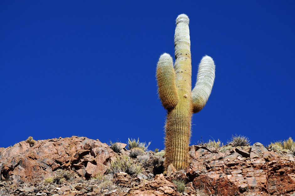 Cactus, northern Argentina